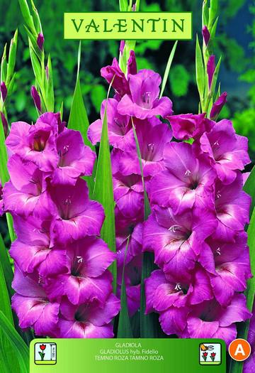GLADIOLA FIDELIO temno roza VALENTIN 8kos/zav