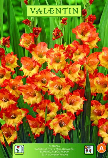 GLADIOLA PRINCESS MARGARET ROSE  rumena z rdečim robom VALENTIN 8kos/zav