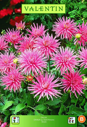 DALIJA PARK PRINCESS roza VALENTIN 1kos/zav