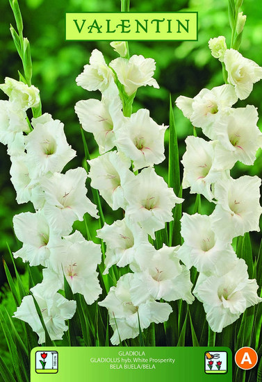 GLADIOLA WHITE PROSPERITY bela VALENTIN 8kos/zav