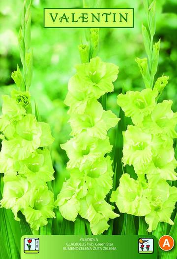 GLADIOLA GREEN STAR rumeno zelena z drečimi lisamiVALENTIN 8kos/zav