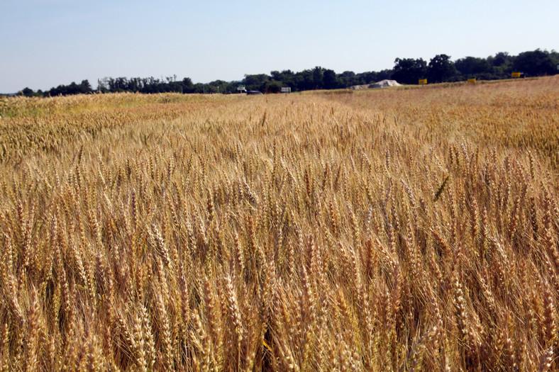 Ozimna pšenica VALBONA C1 razkuženo 30kg