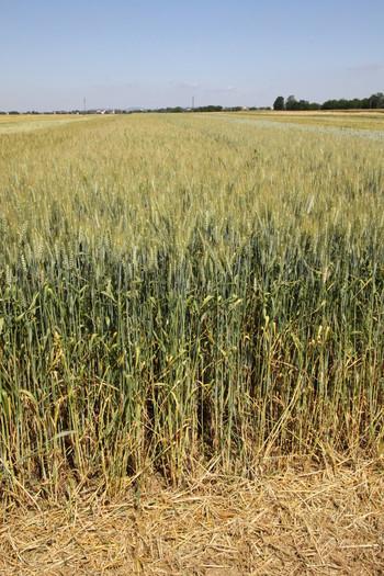 Ozimna pšenica VULKAN C1 razkuženo 30kg