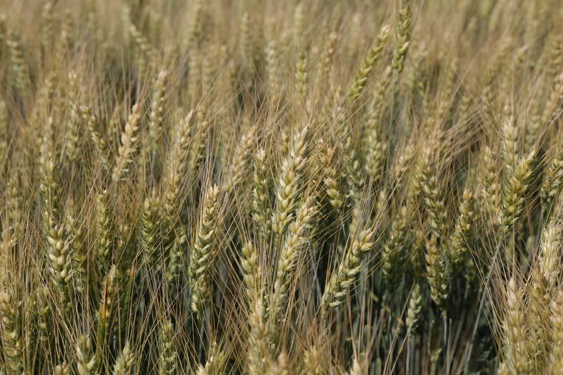 Ozimna pšenica SOTHYS CS C1 razkuženo 25kg