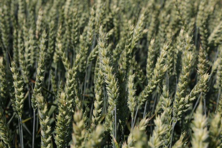 Ozimna pšenica SOSTHENE CS C1 razkuženo 25kg