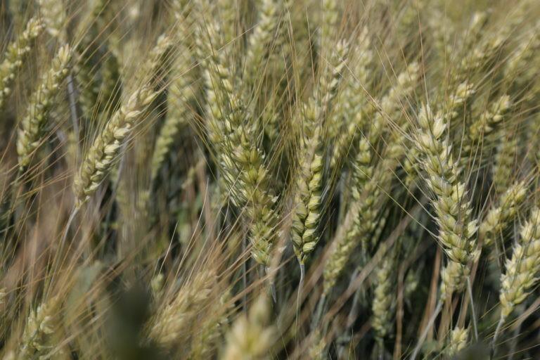 Ozimna pšenica SOLINDO CS C1 razkuženo 25kg