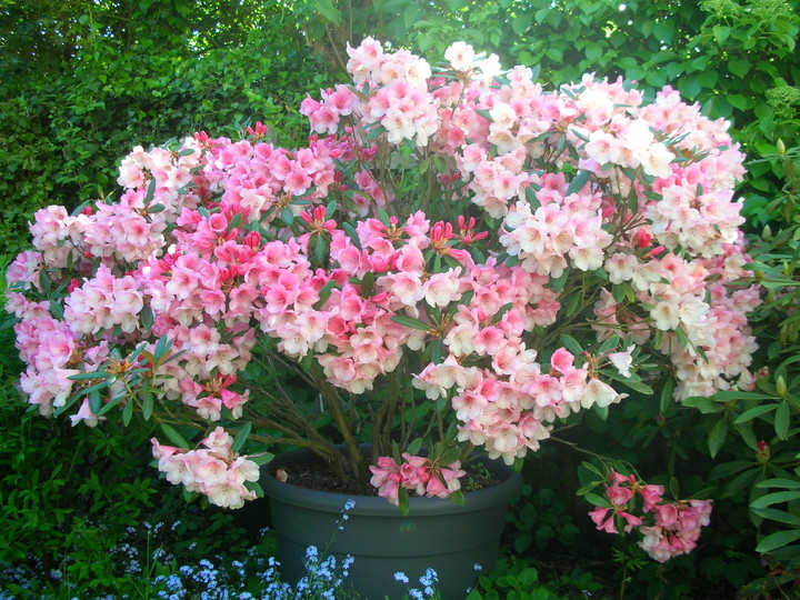 Pisan vrt z rododendroni
