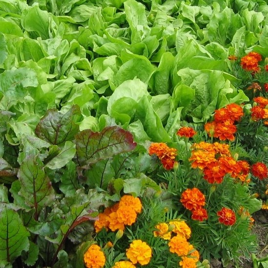 Koristne cvetlice v vrtu