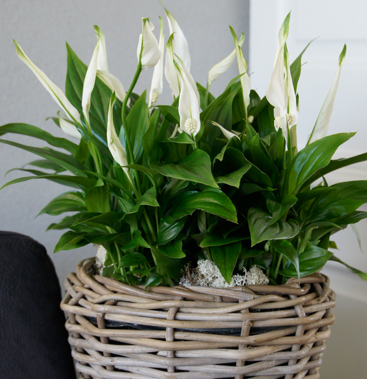 Air so pure - rastline ki čistijo zrak