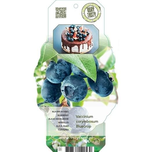 VACCINIUM CORYMBOSUM BLUECROP C2