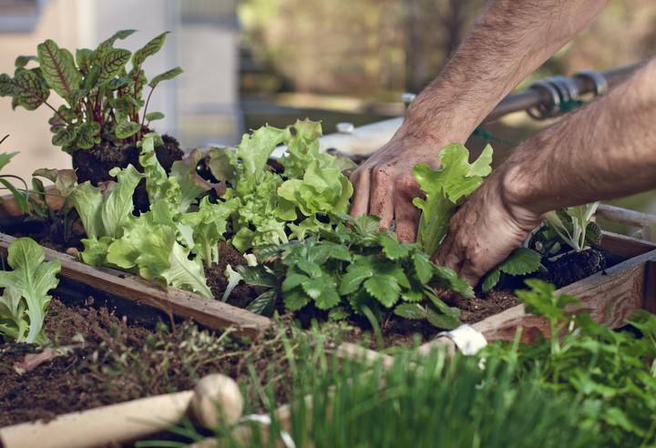 Mešani posevki in dobri sosedje v vrtu