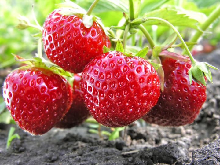 Nasvet za sajenje jagod